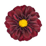 Red Dahlia Flower with Yellow Center Isolated Stock Image