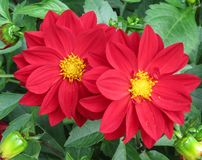 A red dahlia flower with a yellow center royalty free stock photo