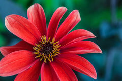 Red Dahlia Flower, Yellow Florets. Red petaled Dahlia flower with yellow florets Stock Photo