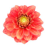Red Dahlia Flower with Yellow Stripes Isolated on White Background Royalty Free Stock Images