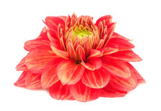 Red Dahlia Flower with Yellow Stripes Isolated on White Background Royalty Free Stock Photography