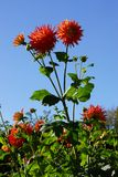 Red Dahlia Flowers Royalty Free Stock Image