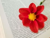 Red Dahlia flowers. On biblical background stock image