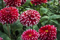Red dahlia flowers Royalty Free Stock Photos