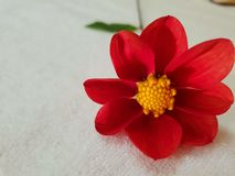 Red Dahlia flowers royalty free stock photography
