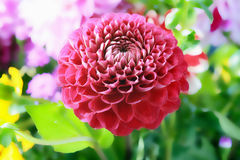 Red dahlia in garden Royalty Free Stock Photo