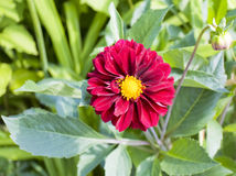 Red dahlia. With green leaves around royalty free stock images