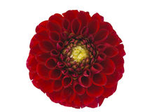 Red dahlia isolated Royalty Free Stock Photo