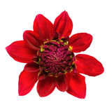 Red dahlia isolated Stock Image