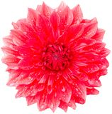 Red dahlia. Isolated on white background Stock Images