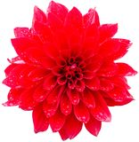 Red dahlia. Isolated on white background Royalty Free Stock Photography