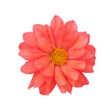 Red dahlia isolated on white background Royalty Free Stock Photo