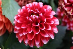 Red Dahlia pinnata Cav in Garden. Asian Chinese Style Garden with pretty red Dahlia pinnata Cav can be found in China, Asia Royalty Free Stock Photos