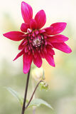 Red dahlia portrait. Red dahlia in garden portrait Royalty Free Stock Images