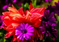Red Dahlia and Purple Asters. Dahlia is a genus of bushy tuberous herbaceous perennial plant native to Mexica. Aster is a genus of flowering plants in the royalty free stock image
