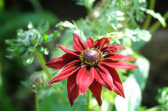 Red dahlia which is popular late flowering autumn half Stock Photo