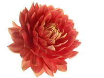 Red dahlia on white Stock Images