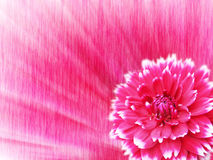 Red Dahlia with white petals. Flower on an abstract background Royalty Free Stock Photo