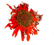 Red dahlia withered flower Stock Photography