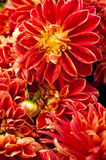 Red Dahlias Stock Image