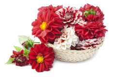 Red dahlias in basket Royalty Free Stock Image