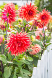 Red dahlias Stock Images