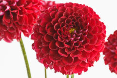 Red dahlias closeup. Dark red dahlias with water drops on the petals on a white background Stock Photos