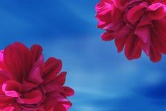 Red dahlias flower. Red dahlias frame flower in the sky Royalty Free Stock Photos