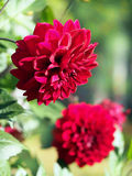 Red dahlias in a garden. Royalty Free Stock Photos
