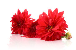Red dahlias with reflexion. Red dahlias on a white background with reflexion royalty free stock photos
