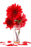 Red dahlias in  vase with water Royalty Free Stock Images