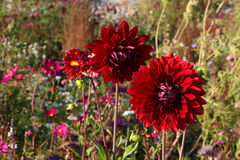Red Dahlias in Wildflower Meadow Stock Photography
