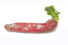 Red Daikon or Mooli Royalty Free Stock Photo
