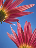 Red Daisies. Seen from below, with a nice blue sky as a background Royalty Free Stock Photos