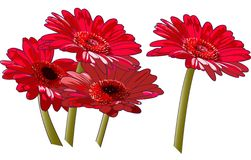 Red Daisies Stock Photos