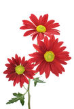 Red daisies. Three red daisies against white background Royalty Free Stock Image