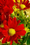 Red Daisies. Beautiful red daisies macro image Royalty Free Stock Image
