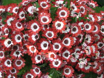 Red Daisies. Bed of red English daisies Royalty Free Stock Photos