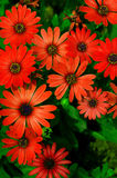 Red Daisies. A group of red daisies in the garden Royalty Free Stock Photo