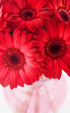 Red Daisies Stock Images
