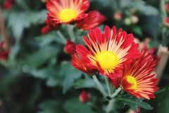 Red daisies. Daisy yellow flowers nature plants greens close-up Stock Photography