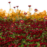 Red Daisies Field Stock Photos