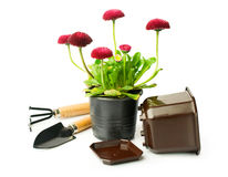 Red daisies and garden tools Royalty Free Stock Photography