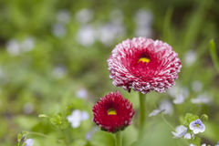 Red daisies Stock Image