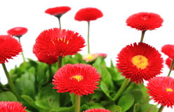 Red daisies on white background Stock Photography