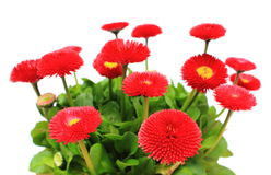 Red daisies on white background Royalty Free Stock Photography