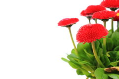 Red daisies on white background, copy space for text Stock Photos