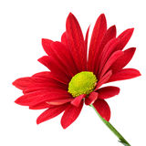Red daisy. Close-up of a red daisy against white background Stock Photography