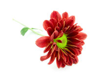 Red Daisy. Flower on White Background stock images
