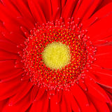Red Daisy stock image